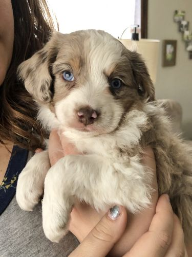 Aussie Doodles Puppies for sale in Archbold, OH 43502, USA. price 1200USD