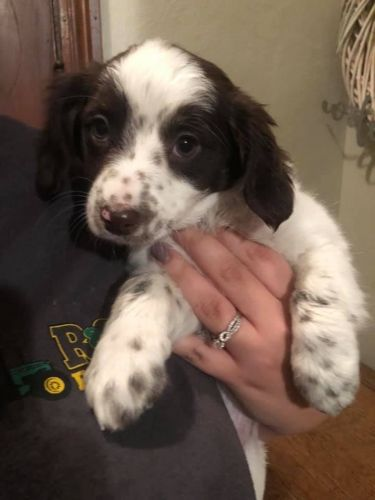 Aussie Doodles Puppies for sale in Archbold, OH 43502, USA. price 700USD