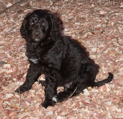 Aussie Doodles Puppies for sale in Clinton, SC 29325, USA. price 1200USD