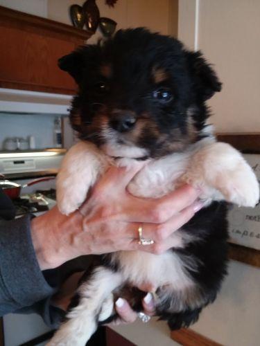 Aussie Poo Puppies for sale in Clio, MI 48420, USA. price 350USD