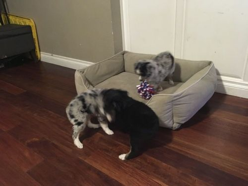 Aussie Poo Puppies for sale in Dallas, TX, USA. price 550USD