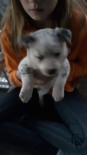 Austrailian Blue Heeler Puppies for sale in Starke, FL 32091, USA. price 350USD