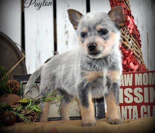 Australian Cattle Dog Puppies for sale in Fresno, CA, USA. price 600USD