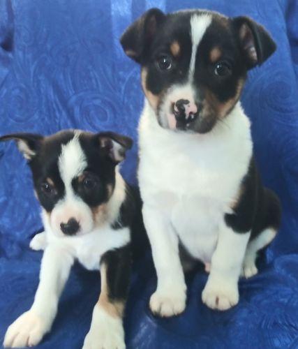 Australian Cattle Dog Puppies for sale in Clio Rd, Clio, MI, USA. price 250USD