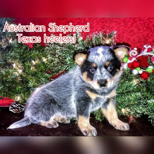 Australian Cattle Dog Puppies for sale in Fenton, MI, USA. price 300USD