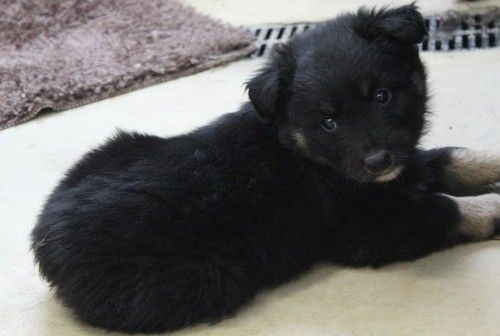 Australian Kelpie Puppies for sale in Fresno, CA, USA. price 600USD