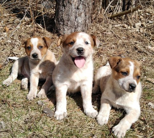 Australian Red Heeler Puppies for sale in Birch Run, MI 48415, USA. price 200USD