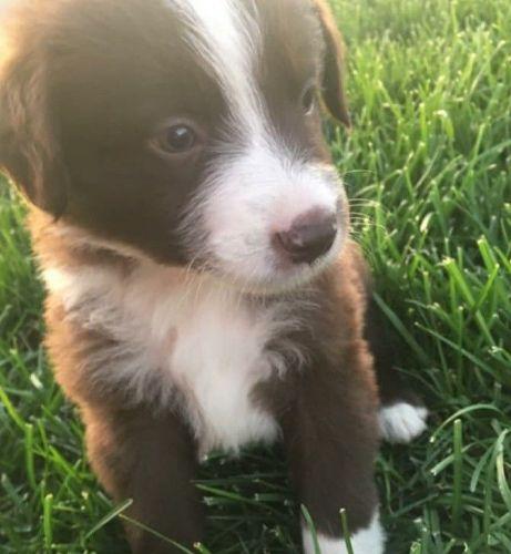 Segugio Italiano Puppies Sale | North Tonawanda, NY #3280