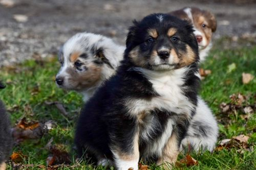 Australian Shepherd Puppies for sale in Vermontville, MI 49096, USA. price 500USD