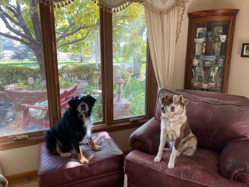 Australian Shepherd Puppies for sale in Castle Rock, CO, USA. price 1000USD