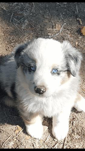 Australian Shepherd Puppies for sale in Aztec, NM, USA. price 500USD