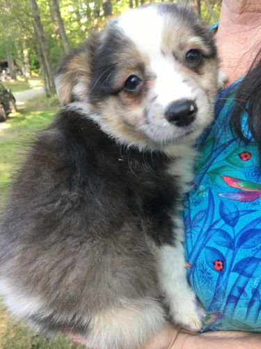 Australian Shepherd Puppies for sale in South China, China, ME 04358, USA. price 800USD