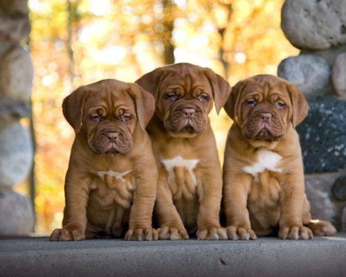 Bagel Hound  Puppies for sale in Arizona Mills, Tempe, AZ 85282, USA. price -USD