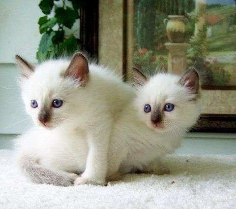 Balinese Cats for sale in Indianapolis, IN, USA. price -USD