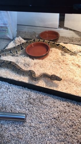 Ball Python Reptiles for sale in Elyria, OH 44035, USA. price 325USD