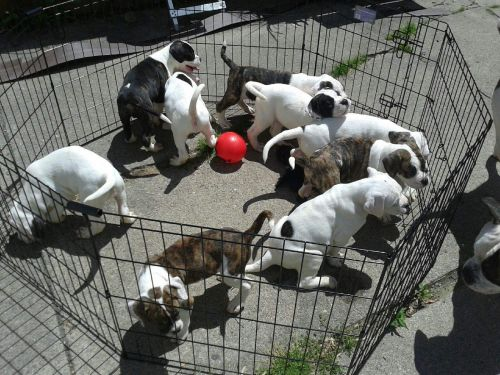 Bandog Puppies for sale in Detroit, MI, USA. price 500USD