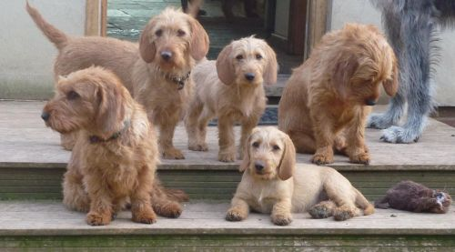 Basset Fauve de Bretagne Puppies for sale in Canonsburg, PA, USA. price 700USD