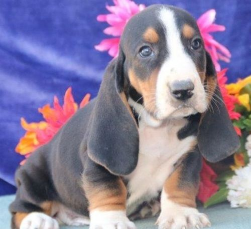 Basset Hound Puppies for sale in FL-535, Orlando, FL, USA. price 500USD