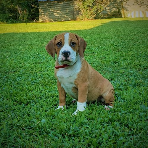 Beabull Puppies for sale in Shelbyville, IN 46176, USA. price 550USD