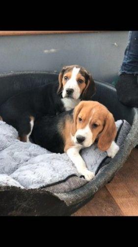 Beagador Puppies for sale in Virginia Beach, VA, USA. price -USD