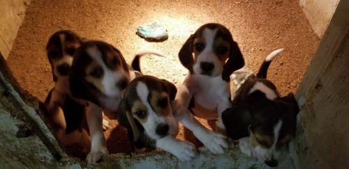 Beagle Puppies Sale Los Angeles Ca 184 Hooblyus