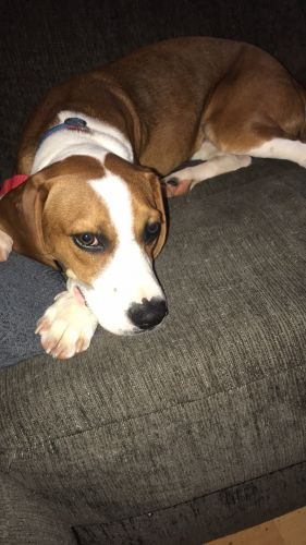 Beagle Puppies for sale in Reynoldsburg, OH, USA. price 400USD