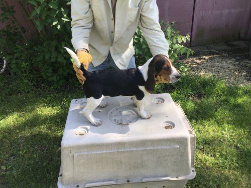 Beagle Puppies Sale Hamilton Mi 6397 Hooblyus
