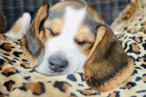 Beagle Puppies for sale in Duluth, MN, USA. price 800USD