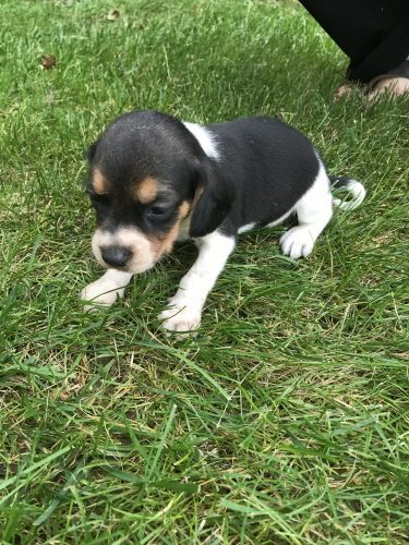 Beagle Puppies for sale in Angola, IN 46703, USA. price 200USD