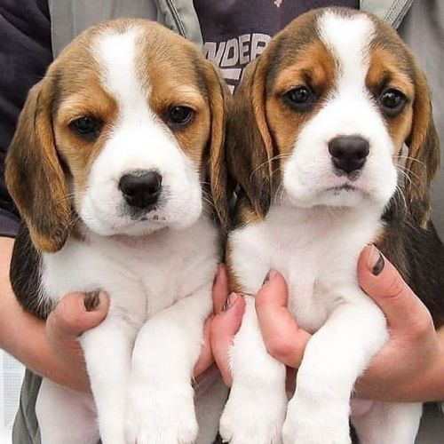 Beagle Puppies for sale in Phoenix, AZ, USA. price -USD
