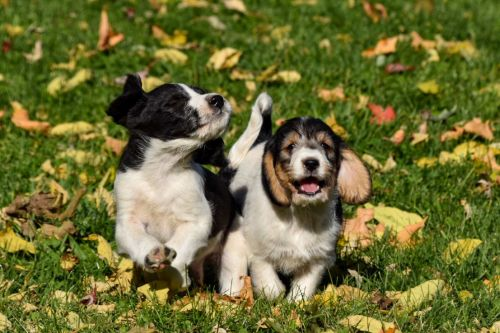 Beagle Puppies for sale in Vermontville, MI 49096, USA. price 700USD