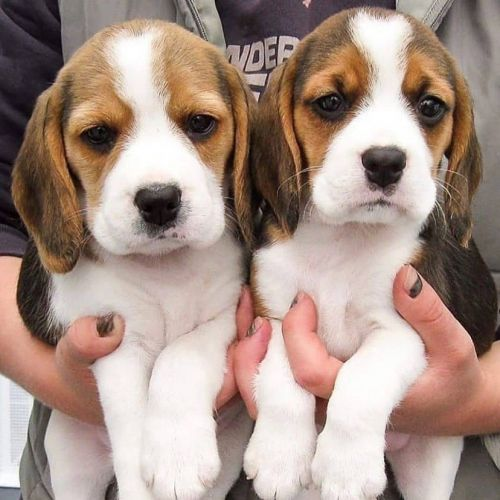 Beagle Puppies for sale in Los Angeles, CA, USA. price 500USD