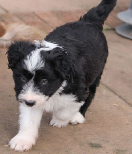 Bearded Collie Puppies for sale in Denver City, TX 79323, USA. price 300USD
