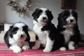 Bearded Collie Puppies for sale in Arizona Mills, Tempe, AZ 85282, USA. price -USD