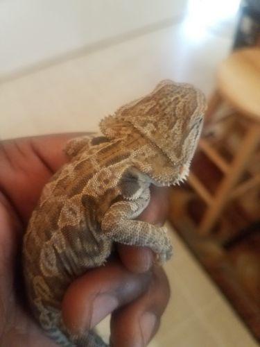 Bearded Dragon Reptiles for sale in Fredericksburg, VA 22401, USA. price 50USD