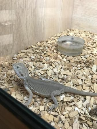 Bearded Dragon Reptiles for sale in Bethlehem, PA, USA. price 200USD