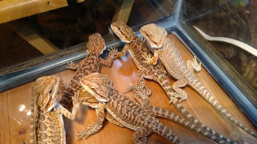 Bearded Dragon Reptiles for sale in Hurley, MO, USA. price 25USD