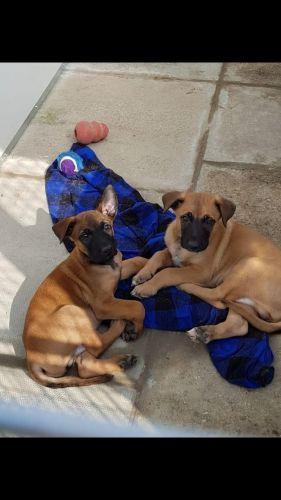 Belgian Shepherd Puppies for sale in FL-113, Jacksonville, FL, USA. price 500USD