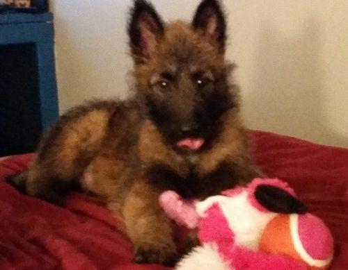 Belgian Shepherd Dog (Groenendael) Puppies for sale in Dallas, TX, USA. price 500USD