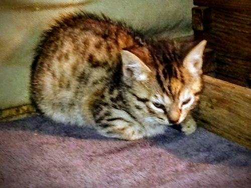 Bengal Cats for sale in New Orleans, LA, USA. price 500USD