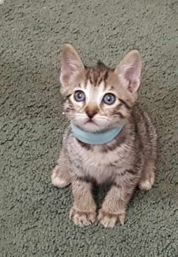 Bengal Cats for sale in Colcord, OK 74338, USA. price 400USD