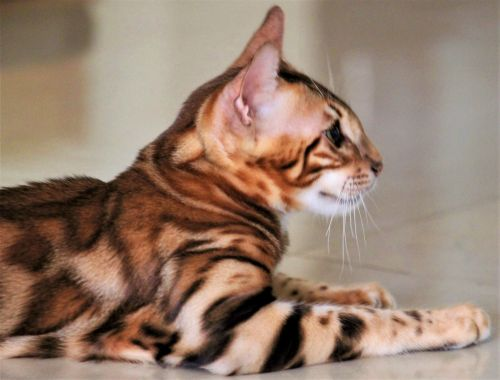 Bengal Cats for sale in Marlboro Township, NJ 07746, USA. price -USD