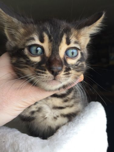 Bengal Cats for sale in Kent, WA, USA. price 1200USD