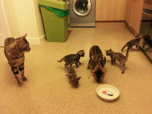 Bengal Cats for sale in Salt Lake City, UT, USA. price 300USD
