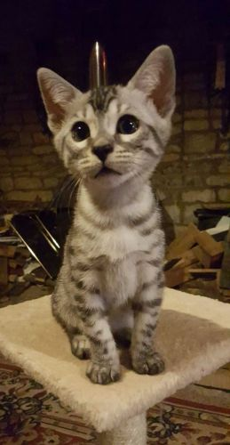 Bengal Cats for sale in Charlotte, NC, USA. price 450USD