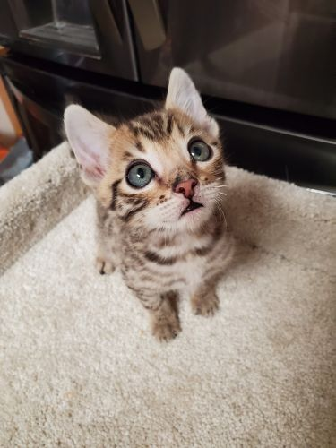Bengal Cats for sale in Wittmann, AZ 85361, USA. price 1000USD