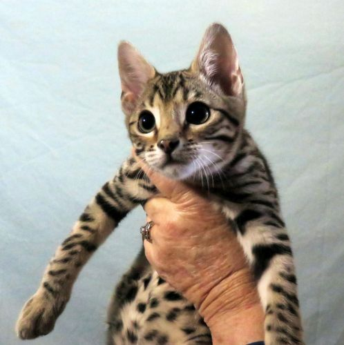 Bengal Cats Sale | Dallas, TX #775 | Hoobly US