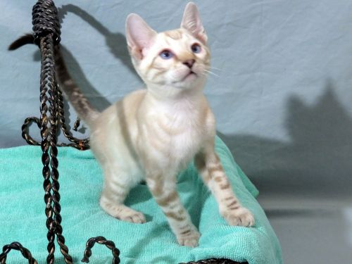 Bengal Cats for sale in Wittmann, AZ 85361, USA. price 1100USD