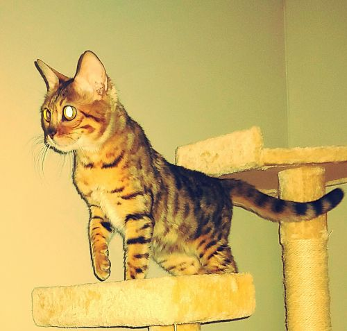 Bengal Cats for sale in Cleveland, OH, USA. price 650USD
