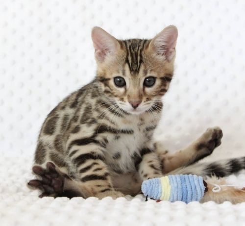 Bengal Cats for sale in Chicago, IL, USA. price 1500USD